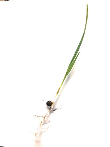 10 Palm Tree Seedlings (Washingtonia Robusta)