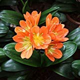 5 Pcs / Bag, Clivia Seeds, Diy Potted Plants, Indoor / Outdoor Pot Seed Germination Rate of 95% Mixed Colors
