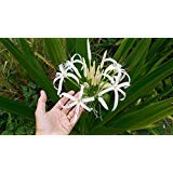 12 Bulbs - Giant Amazon Lily Crinum Lily Fragrant White Flowers Seeds