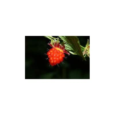 Rubus spectabilis Salmon Berry Fruit Seeds#greg0089 : Garden & Outdoor