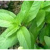Peppermint Mint Pudina Herbs seeds (75 Seeds)