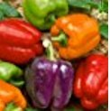 Organic Rainbow Mix Pepper 150 Seeds #98182 Item Upc#650348692605 Each color has its own distinctive flavor
