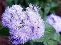 100 PURPLE MISTFLOWER (Hardy or Wild Ageratum) Eupatorium Coelstinum Flower Seeds