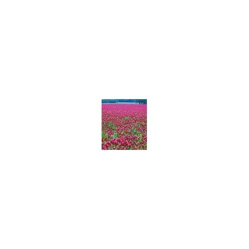 Cheap CRIMSON CLOVER SEED 5 LB Cover Crop, Pasture, Lawns, Wildlife Attractant supplier