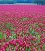 Erosion Control Seeds (CRIMSON CLOVER SEED 5 LB Cover Crop, Pasture, Lawns, Wildlife Attractant)