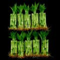 KL Design & Import - 100 Stalks Of 4 Inch Straight Lucky Bamboo For Feng Shui Or Gifts