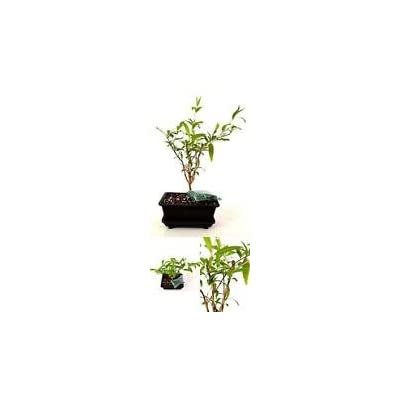 Dwarf Pomegranate Mame Bonsai Water Tray Fertilizer Plant 5'' Inch Vase Indoor: Garden & Outdoor