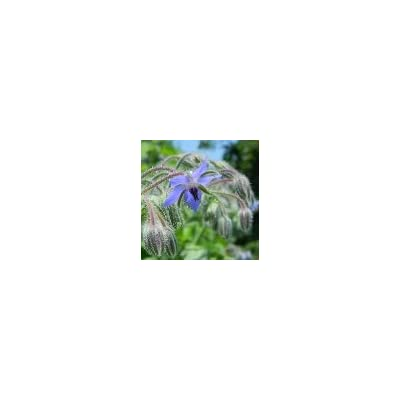 Borage Herb, Powder - Wildcrafted - Borago officinalis (454g = One Pound) Brand: Herbies Herbs: Health & Personal Care
