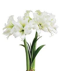 JBA Amaryllis Bulb Large Size 34/36 (1 Bulb)