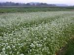 MANCAN BUCKWHEAT 5 Lb Cover Crop - Wild Life and Game Attactant - Bee Pollinator
