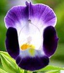 "Live Spectacular Flowering Plant, Torenia Wishbone Flower, Dark Blue/Purple Nice Size 4 1/2"" Tall Pot 6-8"" Tall Plants"