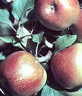 Fuji Apple Tree -- 12 by 12 Inch Container