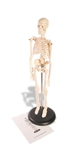 Miniature Skeleton - American Educational Skeleton Model, 17