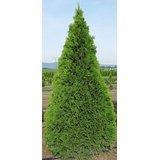 25 THUJA TREE Cedar Thuja Occidentalis Seeds *Comb S/H
