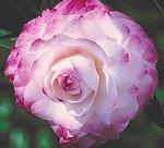 Camellia Nuccio's Pearl Five Gallon
