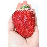 *New* Sweet Fragaria Ananassa , Largest Fruit , Everbearing 35 Seeds