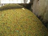 22 lbs BRAZIL SUL MINAS NATURAL PROCESS SPECIALTY AAA GREEN COFFEE by Invalsa Coffee (Image #3)