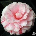 1-gallon-april-dawn-camellia-cold-hardy-gorgeous-variegated-pink-and-white-blooms-blooms-from-winter