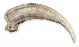 Grizzly Bear Kodiak Claw, Straight (12cm) (Museum Quality Replica) (Bear Grizzly Skull)