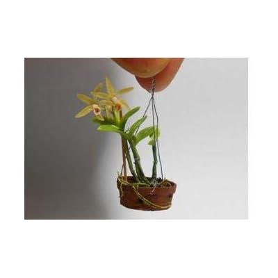 200 Orchid Bonsai Beautiful Flower Bonsai in Bonsai Easy Grow Phalaenopsis Bonsai Indoor Plants for Home Garden
