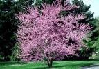 Trees Redbud Flowering - 10 Redbud Tree Seeds