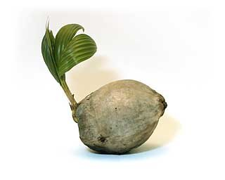 Sprouted Coconut Palm Tree Plant