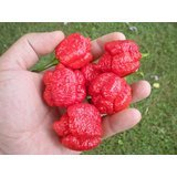 Pepper Seeds 20 (Trinidad Scorpion Moruga 20 Seeds by Pepper Gardeners)