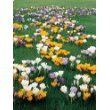 Large Crocus Mix - 40 Bulbs - Best Seller - Early Bloomer - 8/9 Cm Bulbs