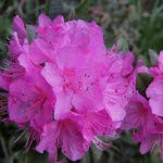 zitt - Bright Pink Bloom - Grows Three Feet Tall - 8