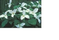 5 White Trillium Bulbs Woodland Plants Great for Shade - Woodland Shade Bulb