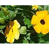 Perennial Climbing Plant Yellow Thunbergia Alata (Black-eyed Susan Vine) 200 Seeds