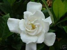 10 seeds of Gardenia jasminoides /'Chuck Hayes/' HARDY GARDENIA Seeds!