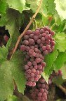 grapes on a vine - 6