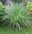 Lemongrass Plant- 3 seperate in 2.25 Inch Size! Non GMO! Organic! Also Known As Fever Grass, Cymbopogon Citratus/ Known for being a Natural Mosquito Repellent! Daylily Nursery