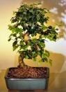 Bonsai Boy's Flowering Ligustrum Bonsai Tree with Curved Trunk-Medium ligustrum lucidum