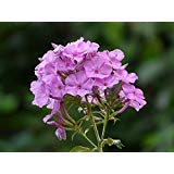 New Tall PURPLE PHLOX Paniculata Garden Summer Native Hummingbird Flower 10+ Seeds