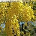 20 Golden Shower Tree Gold Rush Yellow Cassia Fistula Flower Seeds
