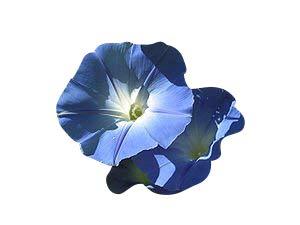 1000 frische Samen der echten Prunkwinde Heavenly blue Morning glory *USA Import* Samenchilishop Ipomea tricolor