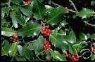 Ilex aquifolium English Holly 9+ Seeds! yKE -342