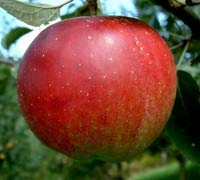 (Winesap Apple Tree (Flowering Group 3) - Live Plants Shipped 1 to 2 Feet Tall by DAS Farms (No California))