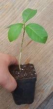 Anamu Herb,Guinea Hen Weed, 1 Live Plant