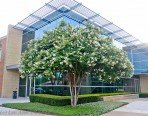 Crape Myrtle Trees - Box of 4 Trees - Quart Pot - Approx. 1 foot tall … by CrapeMyrtleGuy (Image #2)