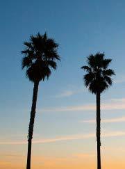 Exotic Palm Tree 15 Premium Quality Tree Seeds 60-80/% Germination, Islas Garden Seeds Mexican Washingtonia Washingtonia Robusta Mexican Fan Palm Tree Seeds