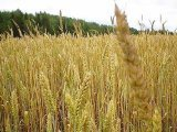 Niblack Wheat Germ Toasted 25 Lbs - SPu783605 by Niblac