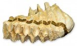 African Elephant Tooth (Teaching Quality Replica)