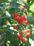 15 Montmorency Pie Cherry Tree Seeds