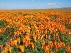 The Dirty Gardener California Orange Poppy Wildflowers
