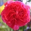 100 CARNATION (Double Dianthus) Dianthus Chinensis Flower Seeds
