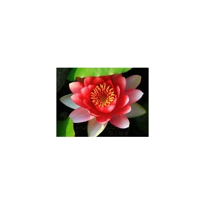 Exotic~Red LOTUS Seed~1 Seed ONLY : Garden & Outdoor