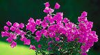 Purple Queen Bougainvillea One Gallon